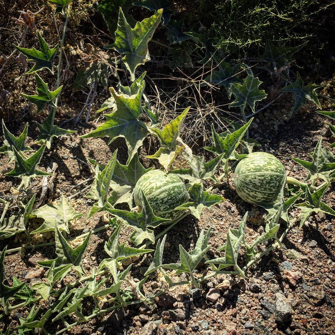 melons! unexpected find amongst the creosote.