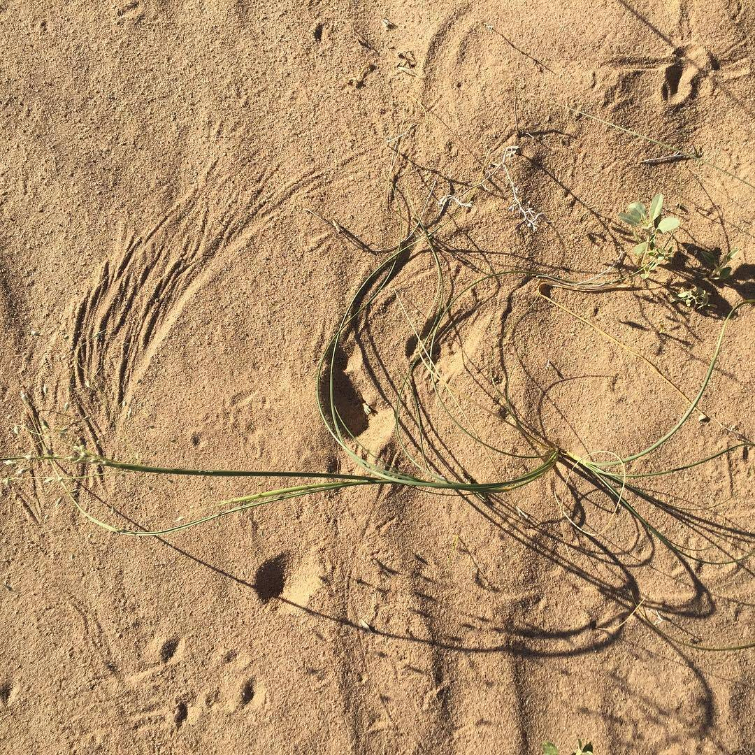 desert compositions / wind drawing on sand with grass